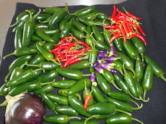Chilli harvest, the lone chille is firecracker.